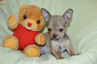 1 Chihuahua Puppies left