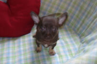 ADORABLE PAWFECTLY CHOCOLATE CHIHUAHUA PUPPIES AVAILABLE