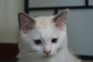 TICA Registered RAGDOLL kitten 1 kitten left, price reduced.