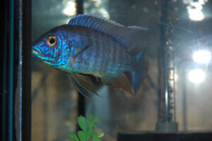 "5"" Male Flavescent Peacock Cichlid"