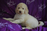 F1B GOLDENDOODLES PUPPIES FOR SALE ONLY 1 GIRL LEFT !!