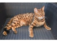 Missing cat Bengal spotted stripe leopard tiger ginger brown Cambridge area
