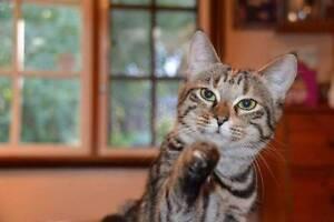 AK0858: Lauren - CAT for ADOPTION - Vet work Included Wellard Kwinana Area Preview