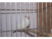 Albino female parrotlets. DNA sexed