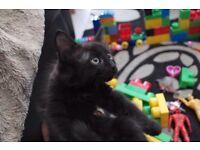 4 Pure black kittens