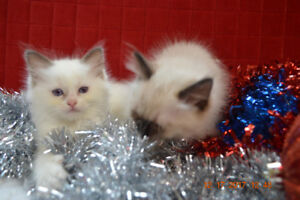 TICA REGISTERED RAGDOLL KITTENS WITH EXTRA LONG HAIR