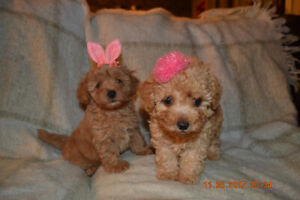 APRICOT MALTIPOO PUPPIES FOR REHOMING