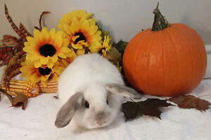 Adorable Holland lop bunnies Kitchener / Waterloo Kitchener Area image 1