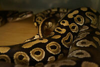 Breeding pair of Ball pythons for sell