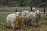 4 Female Angora Goats  MUST SELL IMMEDIATELY