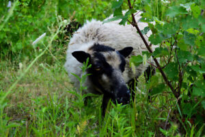 Shetland sheep weedeaters for sale