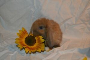 Beautiful Lops or Lionheads Bunnies