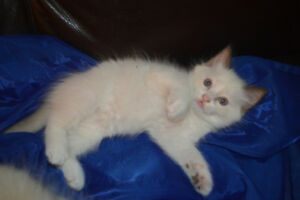 TICA registered Ragdoll kittens