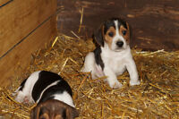 2 Adorable Male Beagles for Sale