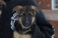 Female German shepherd pups