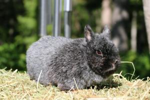 Purebred Netherland Dwarf doe bunny rabbit