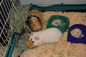 Incredible deal! Two guinea pigs with cage.
