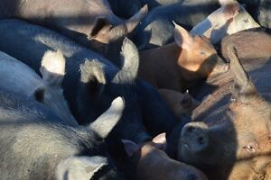 9 HOGS FOR SALE- 4 PIGLETS FOR SALE