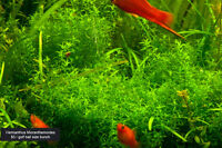 Aquarium plants (fish tank plants)