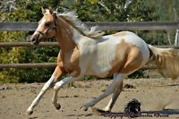 Gorgeous Pal APHA Filly