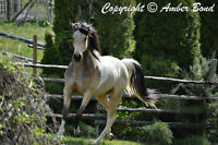 Stunning Buckskin Half Arab Gelding!
