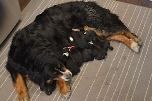 Bernese Mountain Puppies - ready June 14