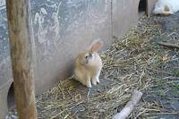 2 Dwarf Mix Female Rabbits For Sale