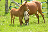 Pony mare and mule baby