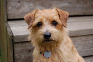 Looking for Yorkie or small terrier puppy