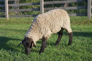 Small flock of sheep with registered Suffolk ram for sale!