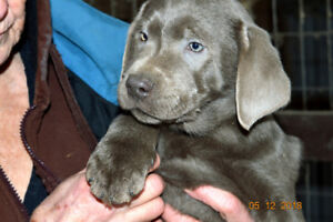 +++LABRADOR+TWINKLE, TWINKLE LITTLE STARS AWAITING NEW HOMES+++