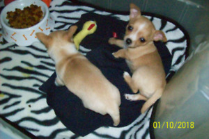 Adorable Chihuahua puppies for sale