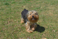 10 month old pure male yorkie for sale