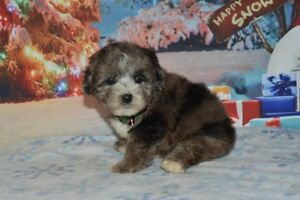 Hypoallergenic/Non Shedding puppies ready this weekend.