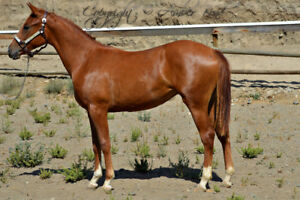Serious Cow Horse Prospect
