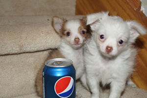 SUPER small Always Up for CUDDLES TEACUP L/H ChiHUAHUA FEMALEs