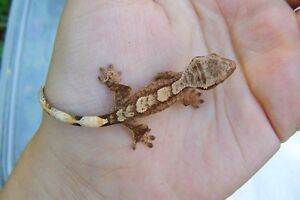 Baby crested geckos for sale!