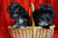 Yorkipoo lapdog pups