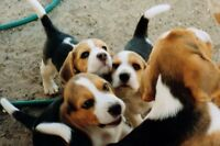 looking for a beagle puppy (: