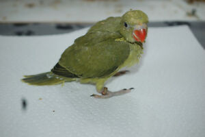 Baby Indian Ringneck For Sale