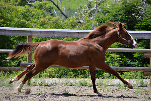 LOOK HERE AQHA Geldings For Sale SHOW prospects