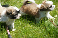 Shih tzu Puppies Ready to GO !!