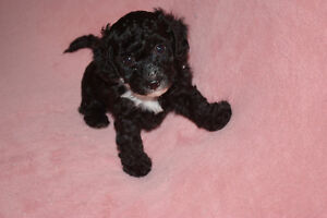 Poodle puppies Toy Three left!