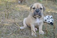 Olde English Bulldogge Puppies for Sale!! Dont Miss Them!!