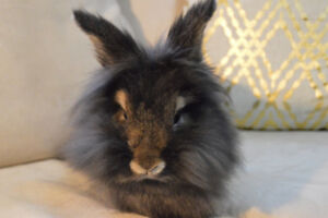 Female Lionhead Bunny Looking for Forever Home