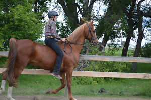 CHARADE - 22 YEAR OLD, DOUBLE REGISTERED GELDING