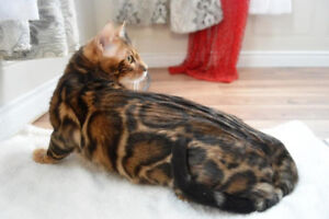 chatons  bengal rouge