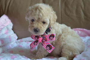 Female miniature Poodle puppy for sale