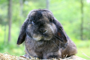 Purebred and Pedigreed Holland lop buck rabbit