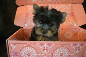 ckc registered yorkshire terrier male puppy